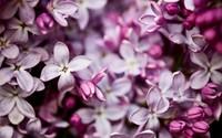Lilac [5] wallpaper 2560x1600 jpg