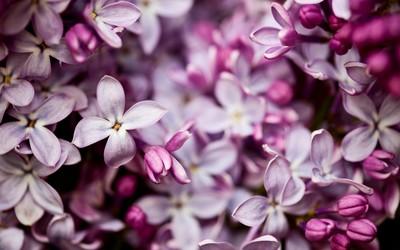Lilac [5] wallpaper