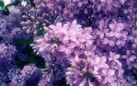 Lilac wallpaper 1920x1200 jpg