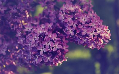 Lilac [8] wallpaper