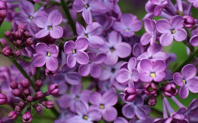 Lilac [9] wallpaper