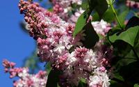 Lilac [11] wallpaper 2560x1600 jpg