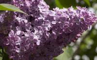 Lilac [14] wallpaper 3840x2160 jpg