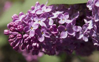 Lilac [13] wallpaper