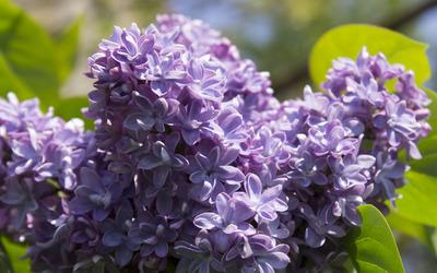 Lilac [12] wallpaper