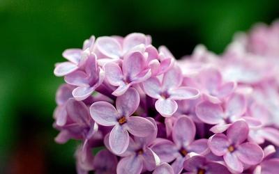 Lilac [7] wallpaper