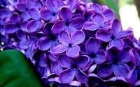 Lilac [2] wallpaper 1920x1200 jpg