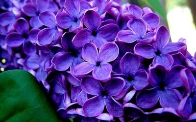 Lilac [2] wallpaper