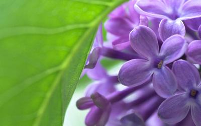 Lilac [4] wallpaper