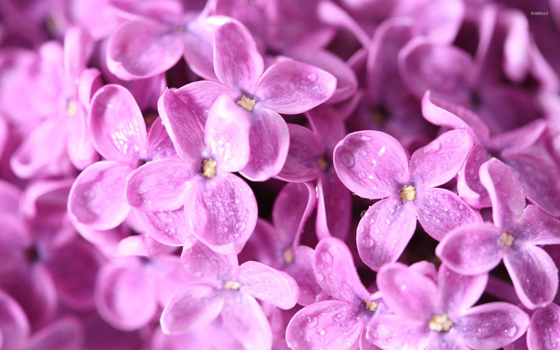 lilac flower wallpaper jpg - photo #12