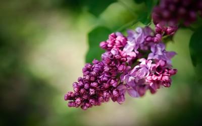 Lilac [3] wallpaper