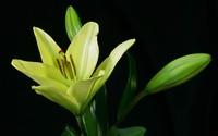 Lilies wallpaper 1920x1200 jpg