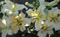 Lilies [7] wallpaper 2880x1800 jpg