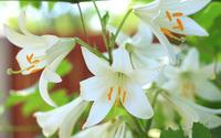 Lilies [4] wallpaper 3840x2160 jpg