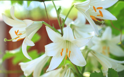 Lilies [4] wallpaper