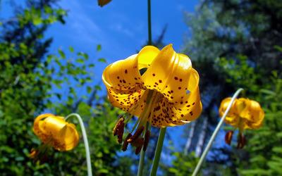 Lilies [2] wallpaper