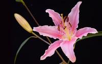 Lily wallpaper 2560x1600 jpg
