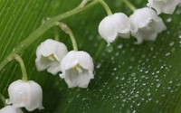 Lily of the valley [4] wallpaper 1920x1200 jpg