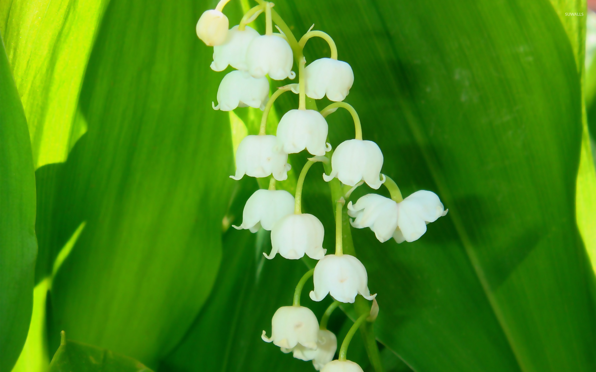 Lily Of The Valley 6 Wallpaper Flower Wallpapers 11777
