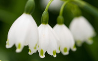 Lily of the valley [7] wallpaper 2560x1600 jpg