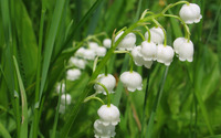 Lily of the valley [10] wallpaper 2560x1600 jpg