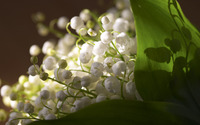 Lily of the valley [5] wallpaper 2560x1600 jpg