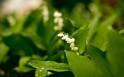 Lily of the valley [9] wallpaper
