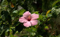 Lonesome pink Hibiscus wallpaper 1920x1200 jpg