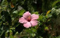 Lonesome pink Hibiscus wallpaper 1920x1200 jpg
