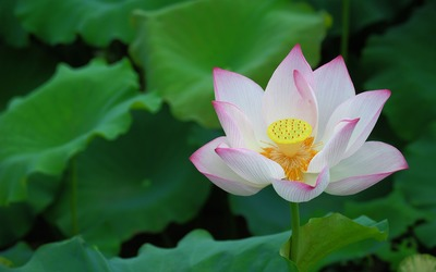 Lotus [10] wallpaper