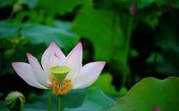 Lotus [14] wallpaper 2560x1600 jpg