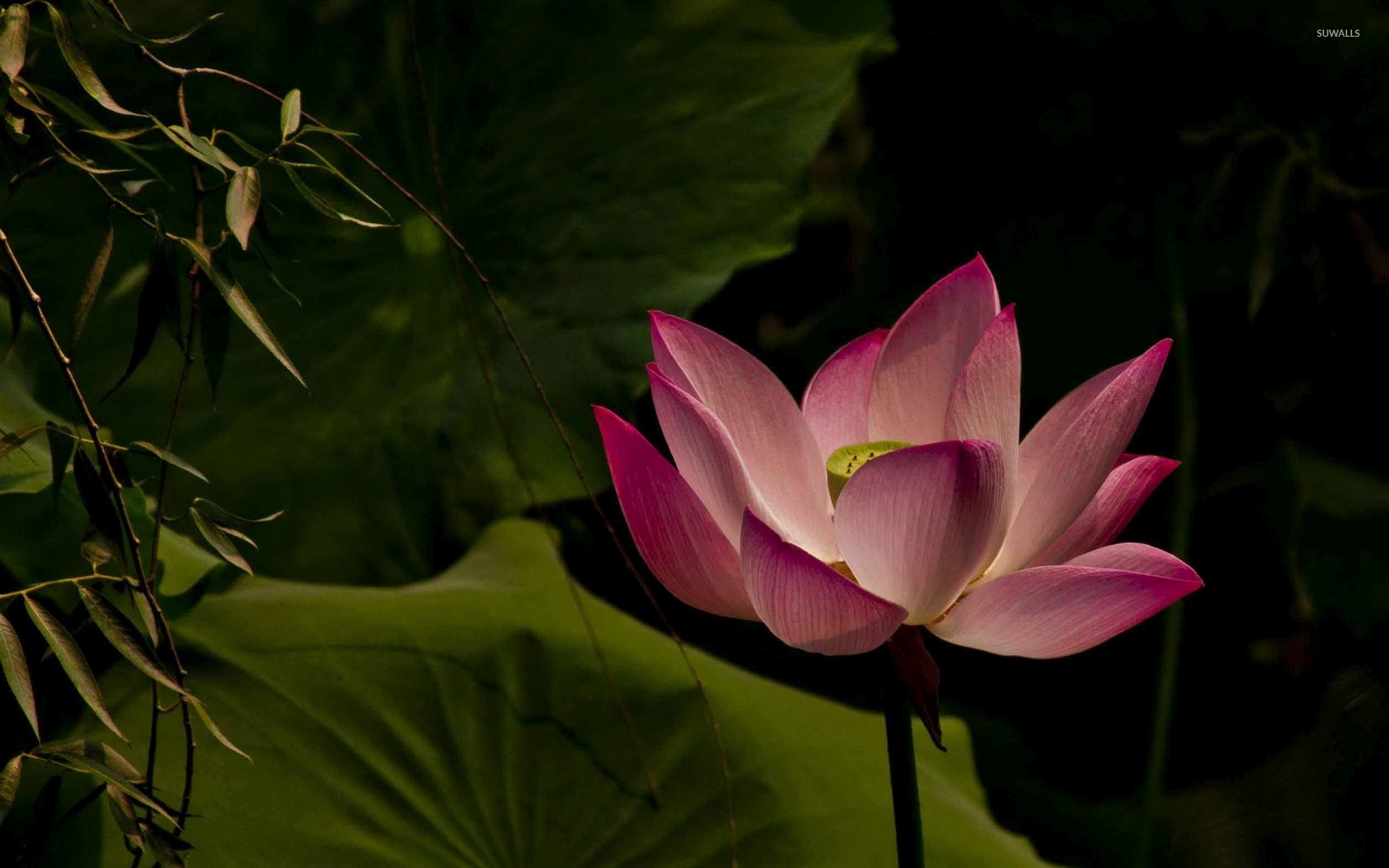 lotus 16 wallpaper flower wallpapers 39337
