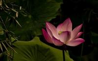 Lotus [16] wallpaper 1920x1200 jpg