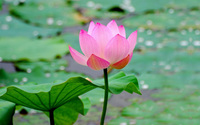 Lotus wallpaper 1920x1200 jpg