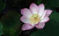 Lotus [4] wallpaper 1920x1200 jpg