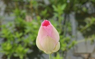 Lotus bud wallpaper