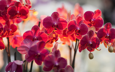 Magenta orchids wallpaper