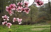 Magnolia [10] wallpaper 1920x1200 jpg