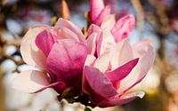Magnolia [6] wallpaper 2560x1600 jpg
