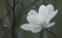 Magnolia [4] wallpaper 1920x1200 jpg