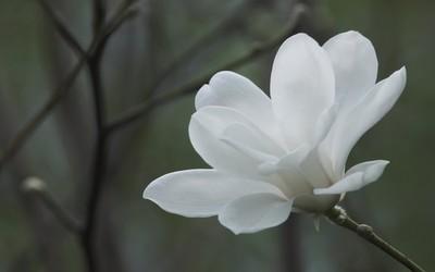 Magnolia [4] wallpaper