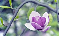 Magnolia [2] wallpaper 2560x1600 jpg