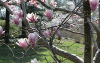 Magnolias on a tree branch wallpaper 2560x1440 jpg
