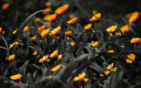 Marigolds wallpaper 3840x2160 jpg