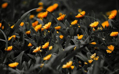 Marigolds wallpaper