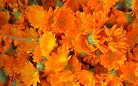 Marigolds [2] wallpaper 1920x1200 jpg