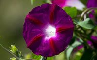 Morning glory wallpaper 1920x1200 jpg