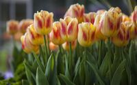 Orange and red tulips wallpaper 1920x1200 jpg
