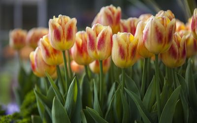 Orange and red tulips wallpaper