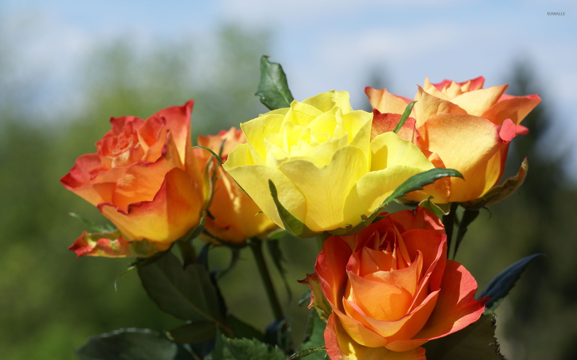 orange and yellow roses wallpaper - flower wallpapers - #6586